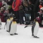 旭山公園ペンギンのお散歩